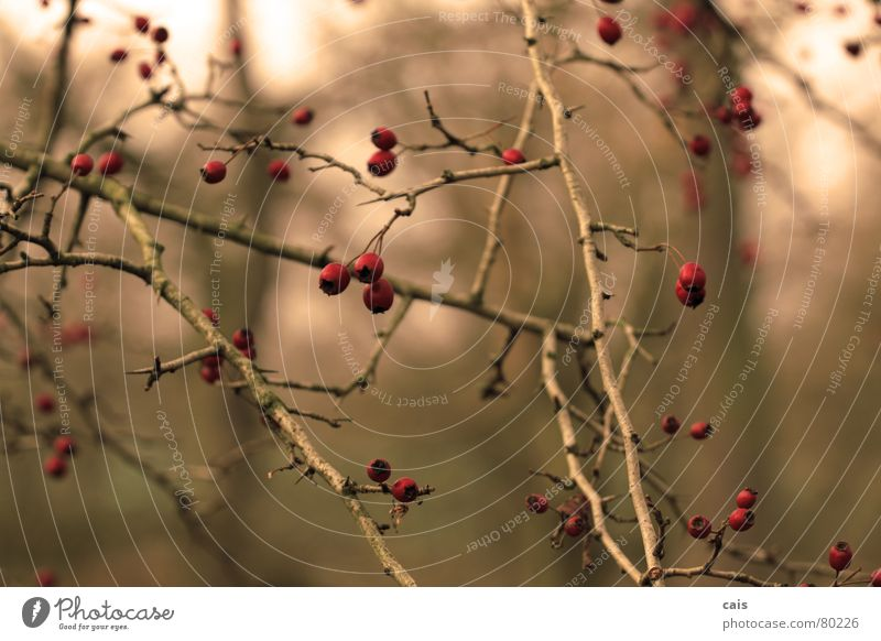 Tree Red Winter Cold Autumn Garden Park Bushes Berries Dornbusch