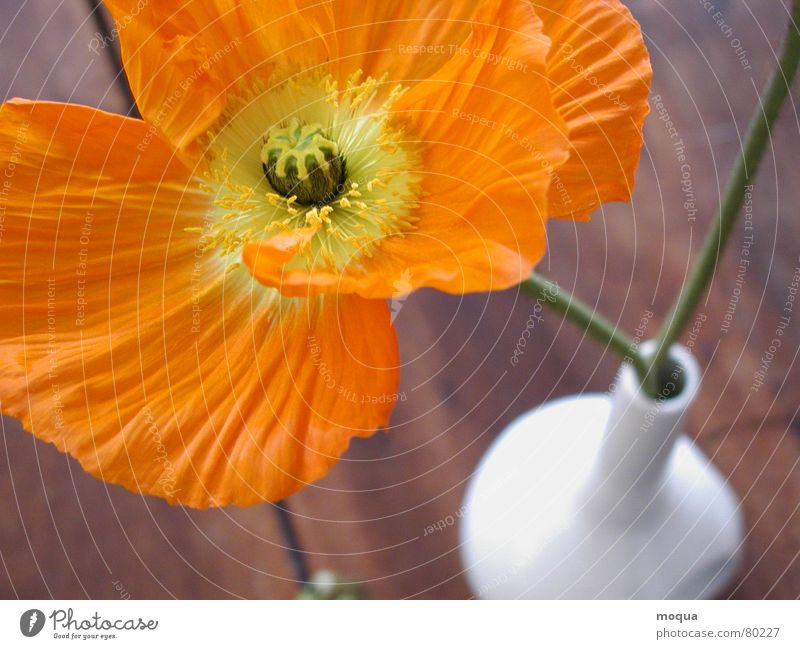 Beautiful Flower Green Plant Summer Yellow Meadow Blossom Wood Brown Orange Field Table Stalk Poppy Still Life