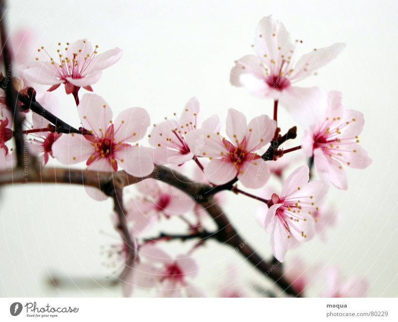 Vacation & Travel Beautiful Red Spring Pink Esthetic Beginning Branch Delicate Twig Fruit Harmonious Blossom leave Blossom Japan Noble