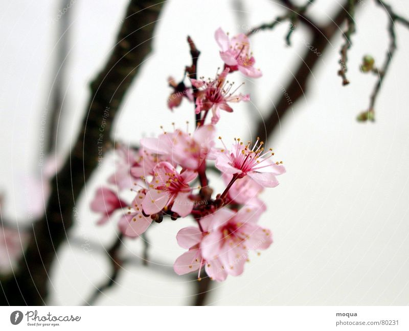 Beautiful Red Spring Garden Park Contentment Pink Beginning Esthetic Branch Delicate Japan Noble Harmonious Twig Cherry