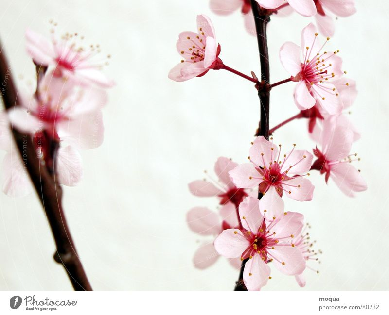 cherry blossom Cherry Pink Red Harmonious Japan Spring Delicate Blossom leave Cherry blossom Beginning Contentment Graceful Esthetic Noble