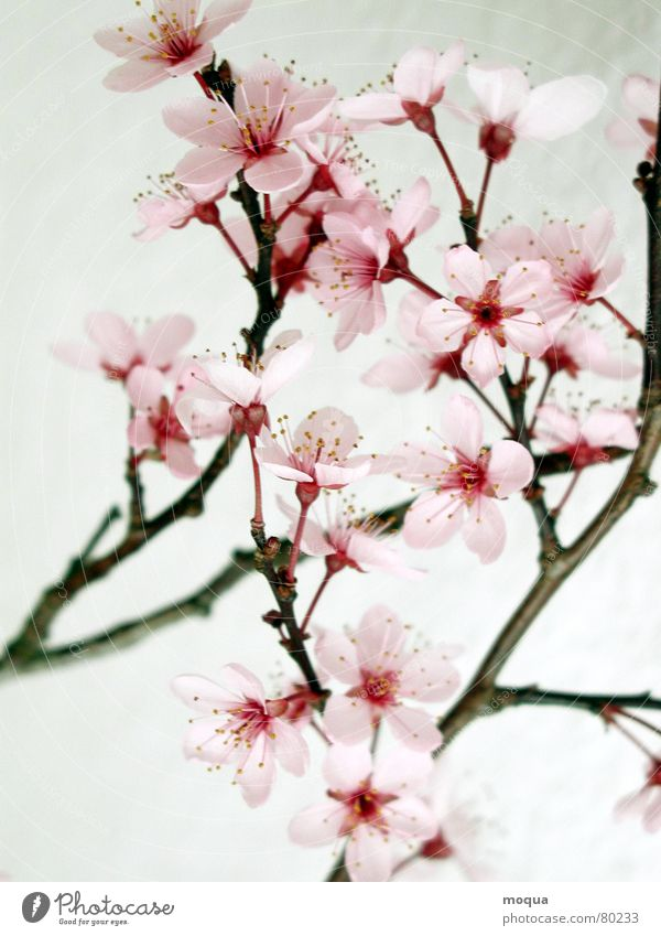 Beautiful Red Spring Garden Park Pink Beginning Macro (Extreme close-up) Branch Delicate Japan Noble Fruit Harmonious Twig Cherry