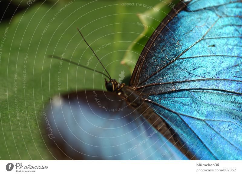 He's got the wings beautiful! Animal Wild animal Butterfly Wing Insect Movement Flying Sit Esthetic Exceptional Elegant Exotic Beautiful Small Blue Dazzling