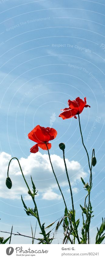 pop pies Multiple Corn poppy Burst Broken up Flower Poppy Red Delicate Thorny Open Green Field Gaudy Multicoloured Fresh Happiness Clouds Sky blue Blossom