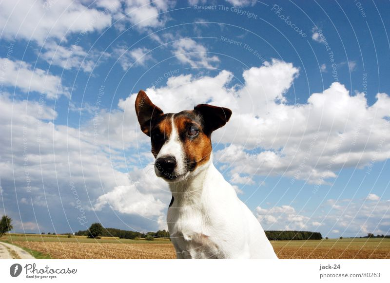 Carlos in the Wind Dog Jack Russell terrier Sweet Sky Clouds Puppy Gale White Field Hallway Autumn storm Mammal Blue dogs life life as a dog Nose blow Ear snort