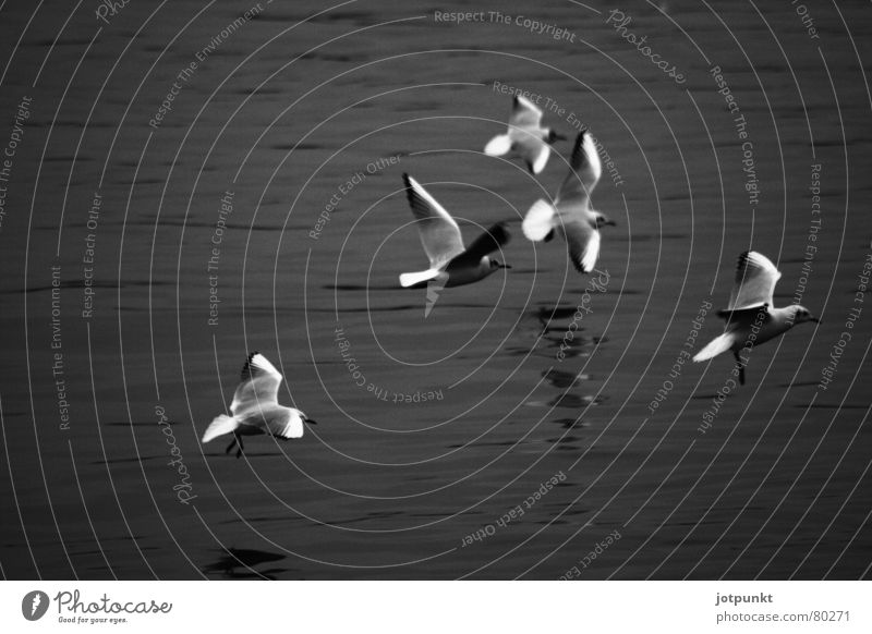 low-flying aircraft Low-flying plane 5 Bird Flying Water River Multiple Dynamics Movement seagull Black & white photo