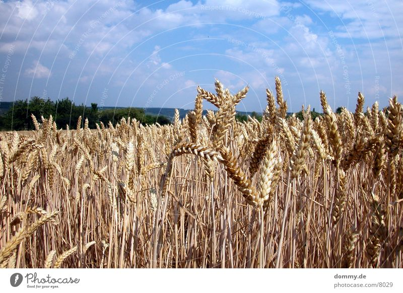 Field Grain Americas Franconia Würzburg