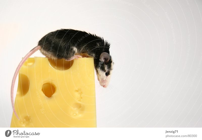 Peak climber. Rodent Dairy Products Sliced cheese Gouda Cheese Nutrition Animal Pet Dinner Food Mammal edamer tilsit cheese rind cheese peel Mouse