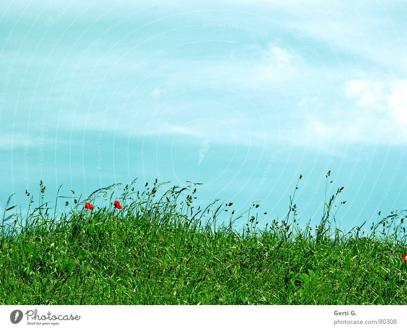 sunny meadow Poppy Grass Green Summer Fresh Red Sky blue Clouds Smear Fragrant Weigh Hill Whim Flower meadow rabbit food meadow herbs Blue Wind Lawn Mountain