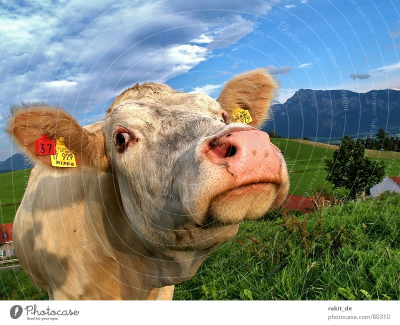 Sky White Green Blue Clouds Eyes Meadow Grass Mountain Funny Signs and labeling Animal face Pelt Curiosity Cow Animal