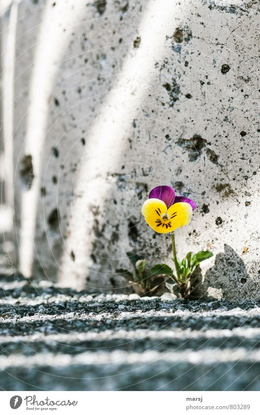 survival artist Nature Plant Flower Blossom Wild plant Pansy Pansy blosssom field violet Wild pansies Wall (barrier) Wall (building) Stone Concrete Stripe