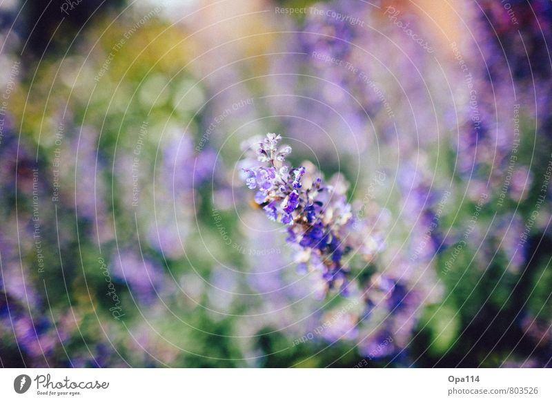 """Purple Clouds Environment Nature Plant Animal Spring Summer Beautiful weather Blossom Foliage plant Garden Park Blossoming Soft Green Violet """"Lilac Flower"""