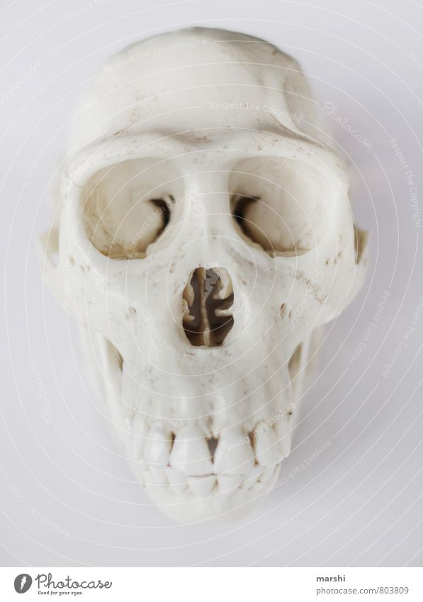 skull Animal Animal face White Death's head Monkeys Human being Skeleton Colour photo Interior shot Isolated Image Neutral Background