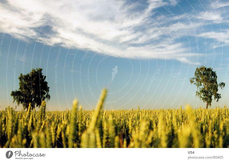 Nature Sky Tree Sun Blue Summer Clouds Field Kitsch Ear of corn