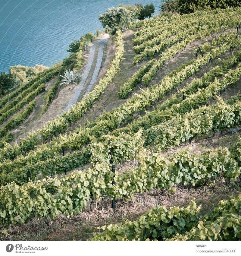 Wine Landscape Summer Plant Agricultural crop Garden Hill River Douro Green Vine Vineyard Slope Wine growing Port Portugal Winegrower Colour photo Exterior shot