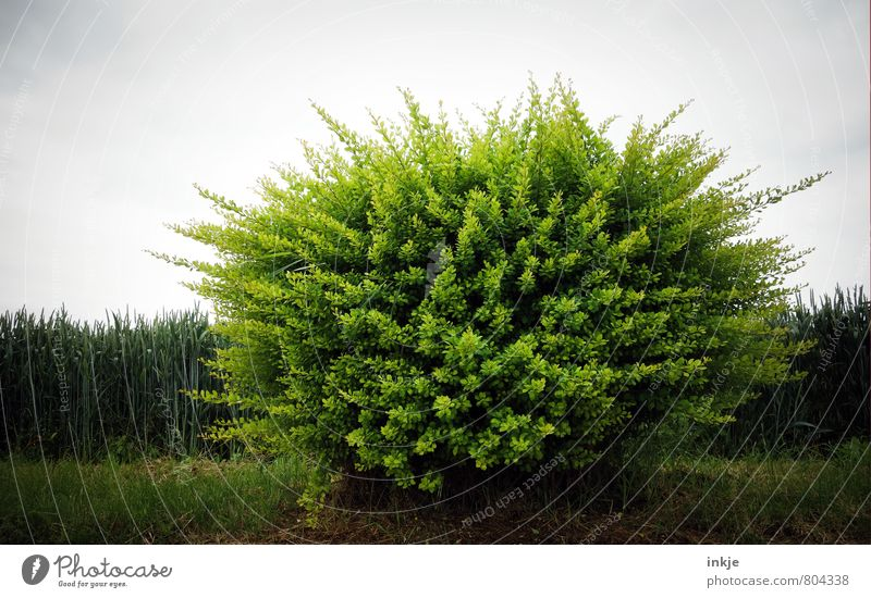 Rastabusch hairy. Environment Nature Plant Spring Summer Bushes Foliage plant Park Meadow Field Forest Outskirts Deserted Green Colour photo Exterior shot