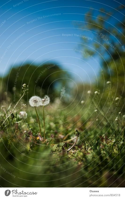 dandelion Dandelion Flower Nature Plant Meadow Worm's-eye view Shallow depth of field Green Blue Sky Tree Park Copy Space top Deserted Day