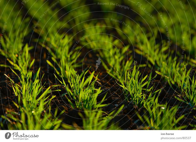 autumn sowing Sowing Field Green Back-light Autumn Germ Grain Cornfield Earth Floor covering