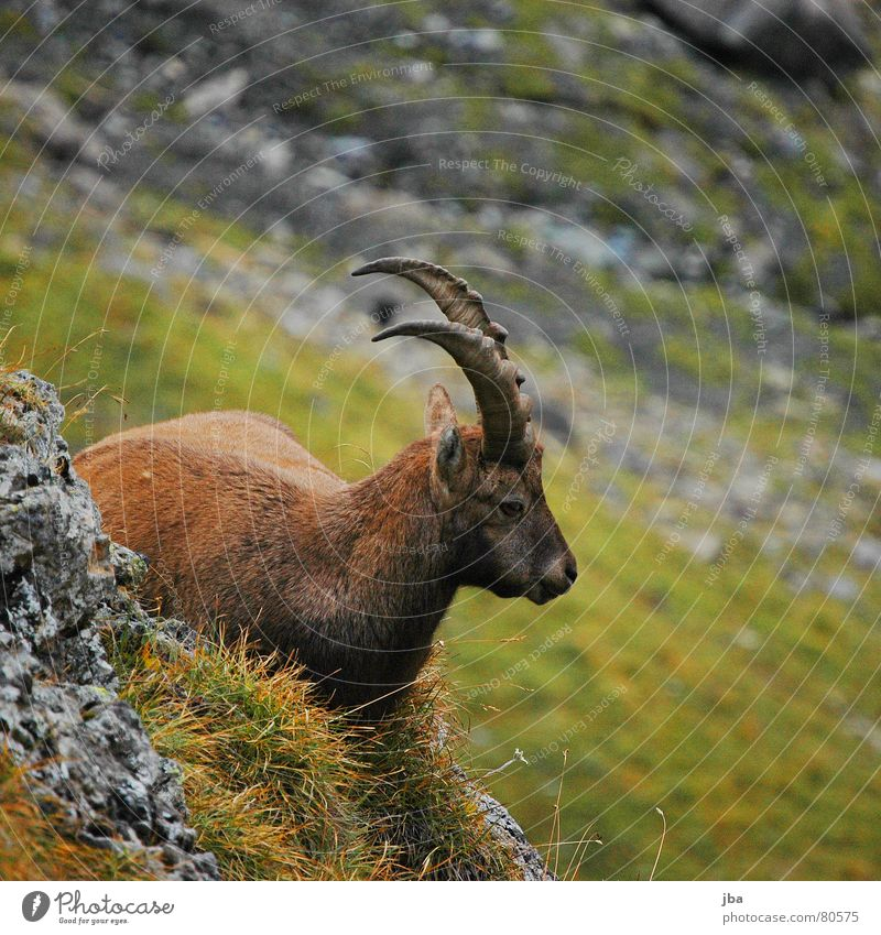 Nature Green Calm Animal Relaxation Nutrition Gray Grass Stone Brown Back Lie Ear Near Pelt Antlers