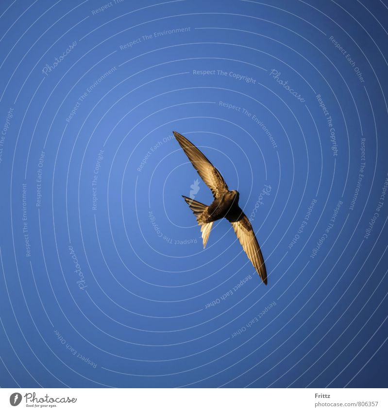 Common Swift Animal Wild animal Bird Wing swifts sailor birds Apus apodidae yachtsmen 1 Flying Above Crazy Speed Blue Brown White long-distance puller