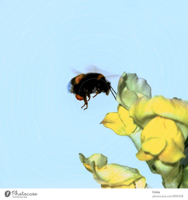 Dark Bumblebee Nature Plant Animal Sky Beautiful weather Blossom snapdragon antirrhinum majus Plantain plants antirrhinae frog boy blyder's weed Large Dorant