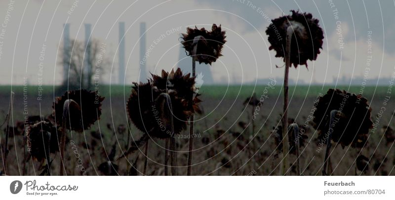black sunflowers Industry Environment Sky Clouds Horizon Winter Climate change Plant Field Deserted Industrial plant Chimney Sadness Faded Threat Dark Gloomy