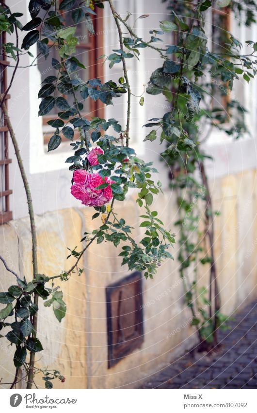 rose bush Flat (apartment) Garden Summer Bushes Rose Old town Facade Blossoming Fragrance Hang Pink Rose blossom Sleeping Beauty Tendril Colour photo
