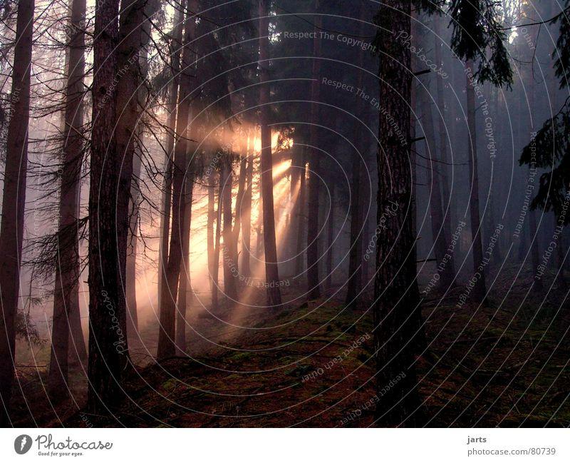 Tree Sun Forest Dark Lighting Fog Beginning Fir tree Fairy tale Celestial bodies and the universe Beam of light Shroud of fog