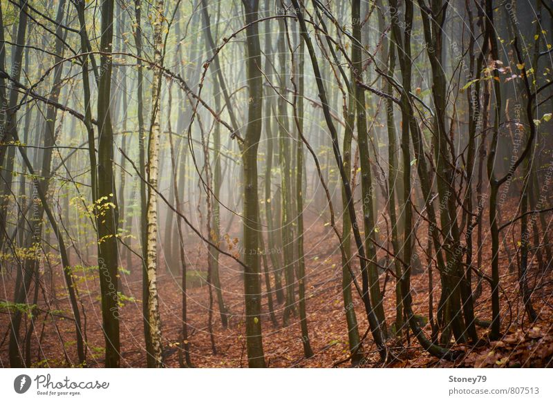 forest Nature Autumn Fog Tree Birch tree Beech tree Leaf Forest Wet Natural Gloomy Brown Damp Eerie Colour photo Subdued colour Exterior shot Deserted Morning