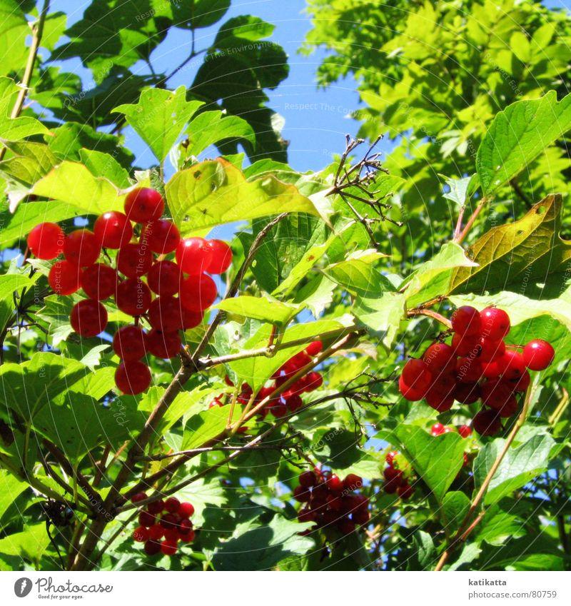 summer. Summer Sun Leaf Red Green Spring Bushes Physics Shadow Park Garden Berries Sky Blue Fruit Twig Warmth warm season