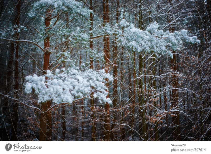 winter forest Nature Plant Winter Snow Tree Pine Branch Forest Dark Cold Dream Frost Narrow Colour photo Subdued colour Exterior shot Deserted Copy Space bottom