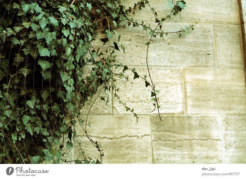 wall growth Natural growth Tendril Munich Stone wall Wall (barrier) Ivy Plant Creeper Green Calm Gray Cold Hard Heavy Moody Exterior shot Environment