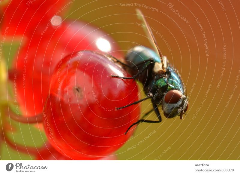 Fly on red berry Fruit Finger food Nature Summer Beautiful weather Animal Wing 1 Flying To feed Glittering Bright Delicious Astute Cute Sweet Warmth Green Red