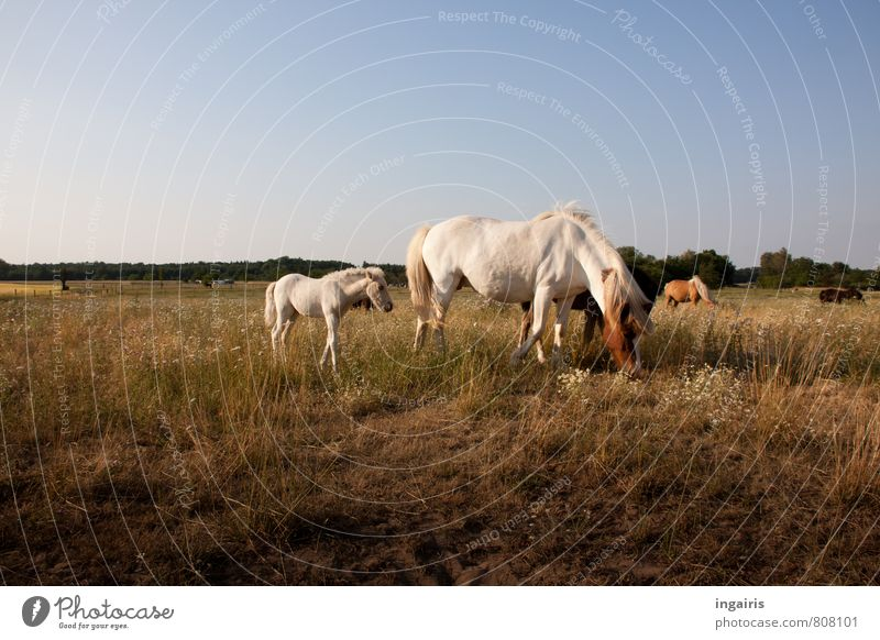 RENEWS Nature Landscape Sky Horizon Sunlight Summer Grass Animal Farm animal Horse Iceland Pony Foal dam Herd Baby animal Animal family To feed Stand