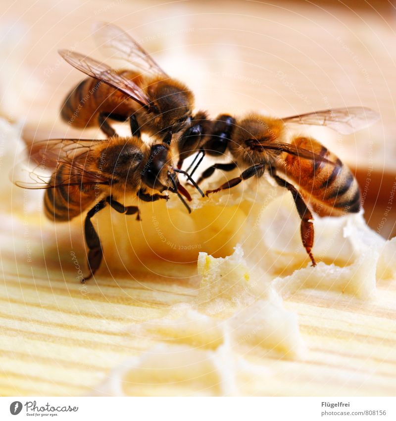 They're building for you here. Bee 3 Animal Build Stripe Insect Wing Honey Honeycomb Bee-keeping Beehive Trunk beeswax Yellow Colour photo Exterior shot