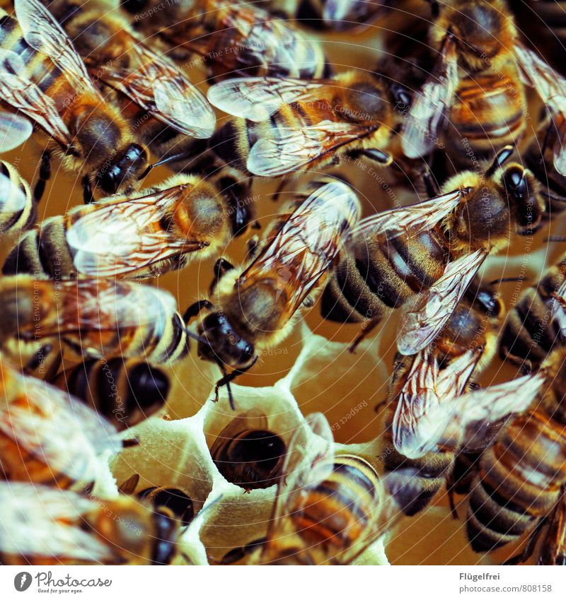 hidden object Bee Flock Build Beehive Honey Bee-keeping Animal Stripe Yellow Wing Insect Honey-comb Many Buzz Colour photo Exterior shot