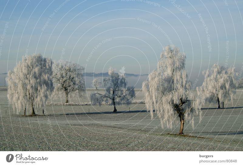 sugar icing Tree Birch tree Hoar frost Field Cold Switzerland Winter Snow Sky Blue Morning Shadow Landscape Frost