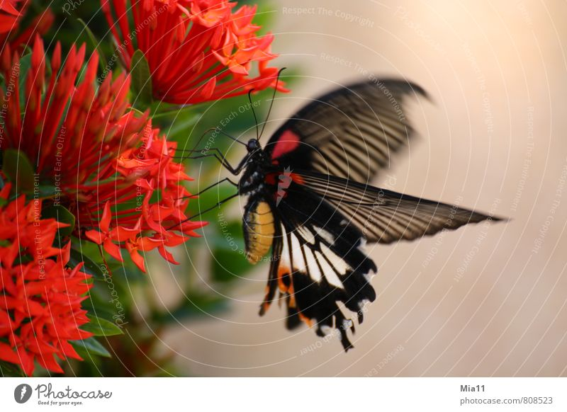hunger Nature Plant Flower Blossom Animal Wing 1 Flying Red Black Butterfly Trunk Dish Eating Colour photo Exterior shot Close-up Day Motion blur