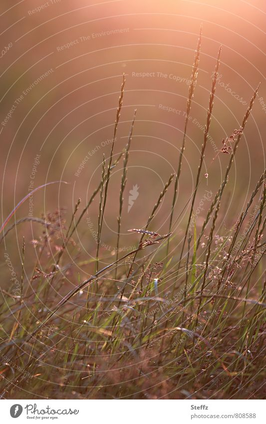 Nature Plant Summer Meadow Grass Moody Orange Beautiful weather Summery Wild plant Afternoon Illuminating Summer evening Ambience July Warm light