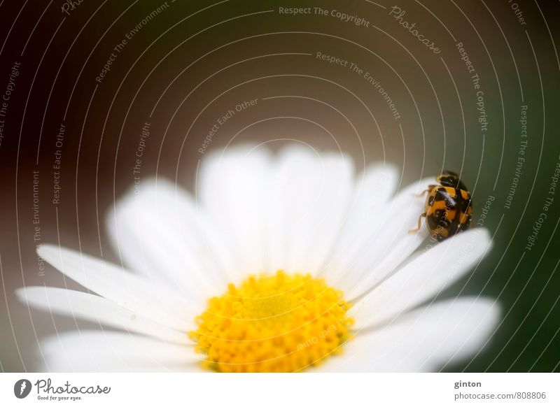 Fourteen point ladybird Nature Plant Animal Summer Flower Blossom Wild plant Wild animal Beetle 1 Movement Blossoming Fragrance To hold on Going Crawl Fresh