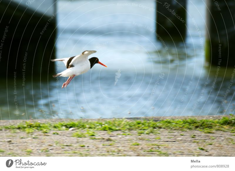 Landeeeen! Environment Nature Animal Water Coast Harbour Bird Oyster catcher 1 Stele Flying Free Natural Freedom Landing Jetty Edge Fringe zone Colour photo