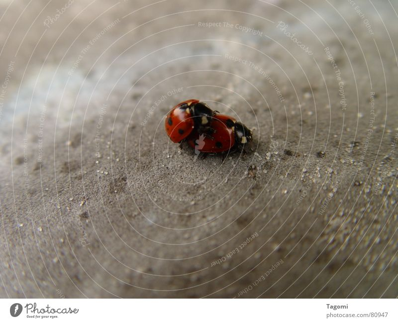 points collectors Seven-spot ladybird Orgasm Accuracy Beetle Center of attraction Attraction Love life Good luck charm Ladybird Bow 7 Red Black Connect Playing
