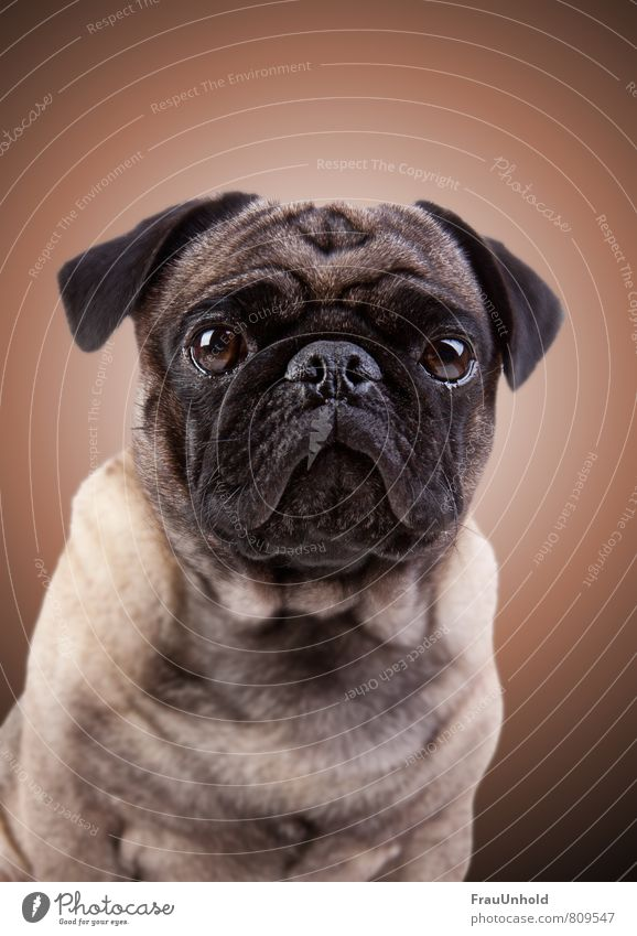 Portrait photography of a pug with aura Pet Dog Animal face Pelt 1 Fat Friendliness Cuddly Kitsch Brown Contentment Honor Bravery Power Conceited Relaxation Pug