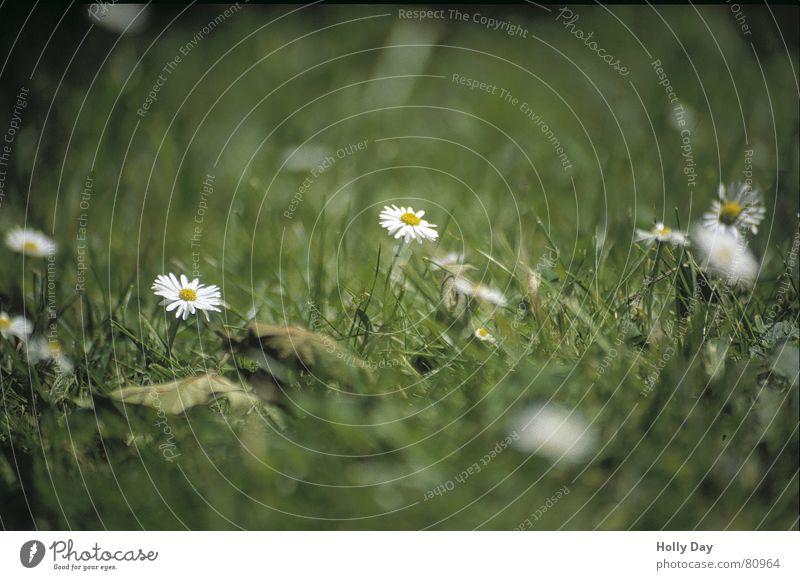 Flower Summer Meadow Blossom Grass Park Lawn Daisy 2006 June