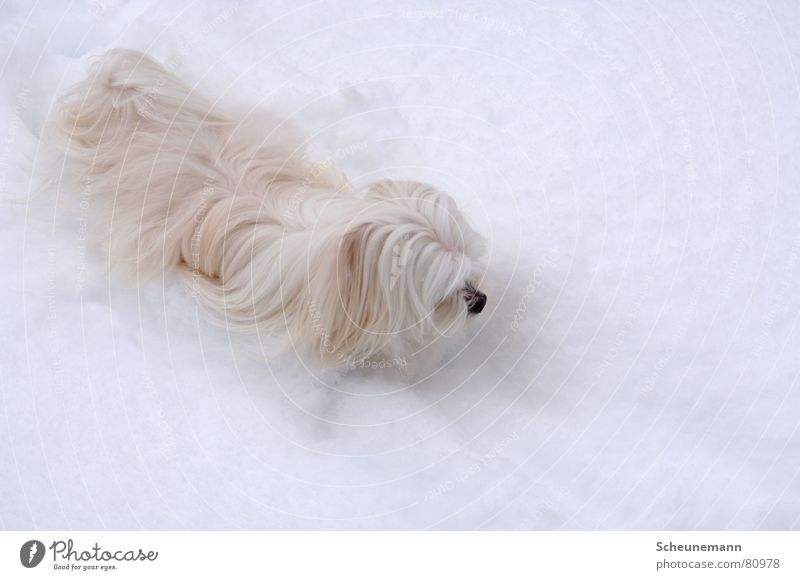 The Yeti Dog Cold Winter Tone-on-tone Mammal Snow Gloomy snowhound Black & white photo Pelt