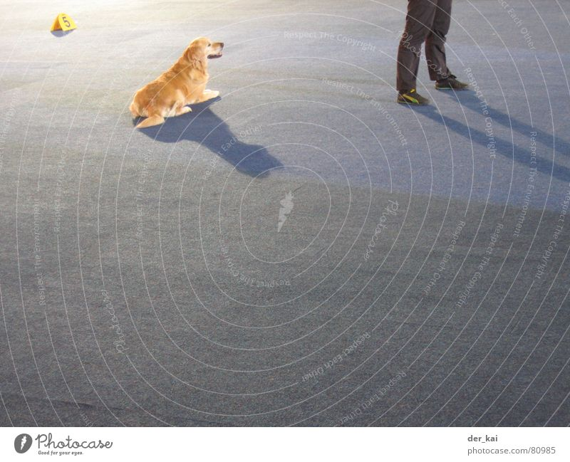 Human being Blue Animal Dog Feet Legs 5 Carpet Exhibition Animal training Golden Retriever Dog show