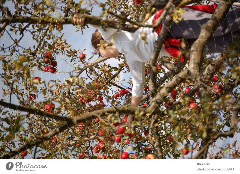 apple harvest Tree Apple tree Collection Autumn one person Harvest Climbing Branch Twig Fruit