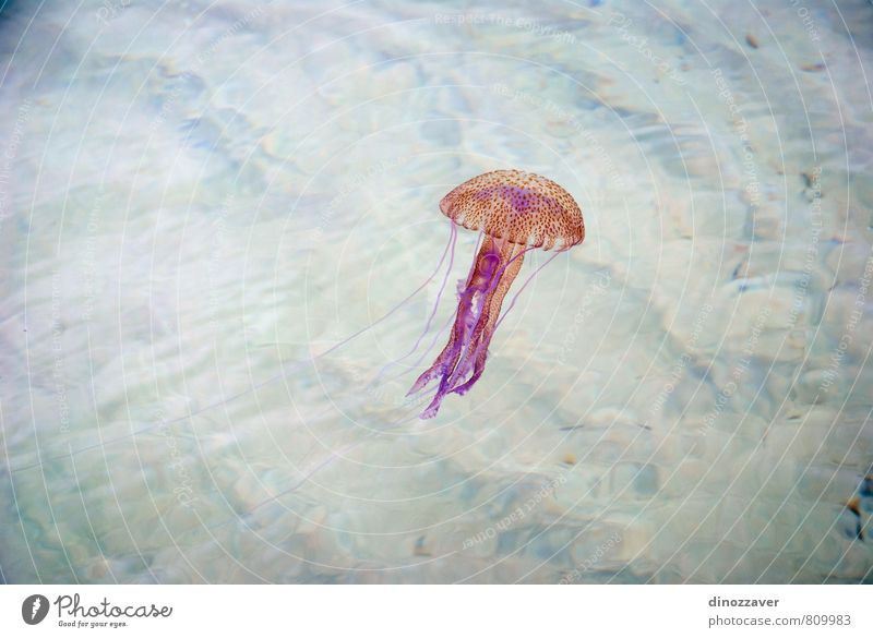 Jellyfish swimming Seafood Exotic Life Ocean Dive Nature Animal Aquarium Blue Yellow Pink Red Dangerous danger water Tropical Deep jelly Aquatic marine wildlife
