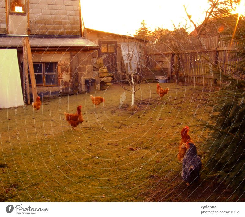 Like the chickens... Elapse Fruit trees Barn fowl Animal Bird Living thing Pet Product Rooster Posture Green Fence Rural Agriculture Sunset Livestock Feather