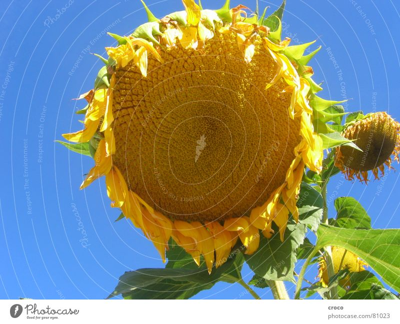 Plant Summer Flower Yellow Sunflower